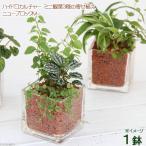 (観葉)ハイドロカルチャー 〜ミニ観葉3種の寄せ植え〜 ニューブロック M(1個)