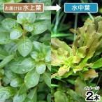 (水草)ルドウィジアsp.ビローサ(無農薬)(水上葉)(2本)