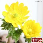 (山野草)フクジュソウ(福寿草) 3〜4号(1ポット)