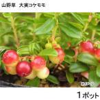 (山野草)盆栽 大実コケモモ(リンゴベリー・カウベリー)2〜3.5号(1ポット) 家庭菜園 (休眠株)