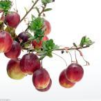 (山野草)盆栽 大実ツルコケモモ (クランベリー 蔓苔桃)3〜3.5号(1ポット) 家庭菜園