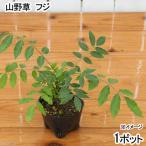 (盆栽)フジ(山藤・藤)苗 3号(1ポット)