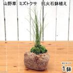 (観葉)苔盆栽 抗火石鉢植え ミズトクサ(1鉢)