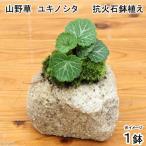 (観葉)苔盆栽 抗火石鉢植え ユキノシタ (1鉢)