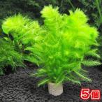 (水草)メダカ・金魚藻 ライフマルチ(茶) ウトリクラリア アウレア(ノタヌキモ)(無農薬)(5個)