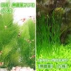 (水草)国産 無農薬マツモ(5本)+スクリューバリスネリア(無農薬)(5株) 北海道航空便要保温