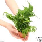 (水草)素焼き鉢 2種寄せ植え Ver.テラリウム(1個) 北海道航空便要保温