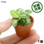 (水草)プチ素焼き鉢 組織培養 アヌビアスナナ 斑入り(無農薬)(1個) 北海道航空便要保温