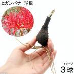 (山野草)ヒガンバナ 球根(リコリスラジアータ 曼珠沙華)(3球)