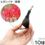 (山野草)ヒガンバナ 球根(リコリスラジアータ 曼珠沙華)(10球)