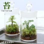 (観葉植物)苔Terrarium クラマゴケ ガラスボトル 説明書付テラリウムキット 本州・四国限定