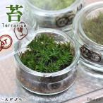 (観葉)苔Terrarium コスギゴケ フラットシャーレ 説明書付 テラリウムキット 本州・四国限定
