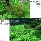 (水草)前景2種セット グロッソスティグマ(半パック分)+ブリクサショート(2株分)