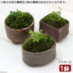 (観葉)苔盆栽 益子焼鉢植え クラマゴケ 信楽 長角 小(1鉢)