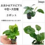 (水草)おまかせアヌビアス(中型〜大型種)3種(3ポット分) 北海道航空便要保温