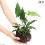 (水草)溶岩石鉢 寄せ植えミックス Ver.アヌビアス(1個) 北海道航空便要保温