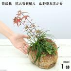 (山野草)苔盆栽 抗火石鉢寄せ植え おまかせ山野草3種 (1鉢)