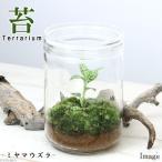 (観葉)苔Terrarium ミヤマウズラ ガラスボトルL 説明書付 テラリウムキット 本州・四国限定