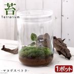 (観葉)苔Terrarium マコデスペトラ ガラスボトルL 説明書付 テラリウムキット ジュエルオーキッド 本州・四国限定
