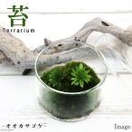 (観葉植物)苔Terrarium オオカサゴケ 蓋付カップL 説明書付 テラリウムキット