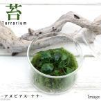 (観葉)苔Terrarium アヌビアスナナ 蓋付カップL 説明書付 テラリウムキット 本州・四国限定