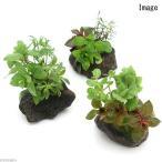 (水草 熱帯魚)ミニサイズ Plants Arrangement ザ ボンサイ(無農薬)(1個) 北海道航空便要保温