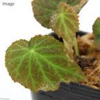 (観葉)ベゴニア sp.キャメロンハイランド(1株)原種ベゴニア