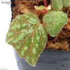 (観葉)ベゴニアsp. u074(1株)原種ベゴニア