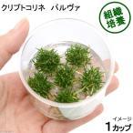 (水草)組織培養 クリプトコリネ パルヴァ(無農薬)(1カップ)