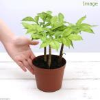 (観葉)野菜苗 コンニャクの苗(蒟蒻) 群馬県産 4号 2〜3球植え(1ポット) 家庭菜園