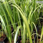 (ビオトープ)水辺植物 アコルス・オウゴン(黄金) 斑入りセキショウ(1ポット分)