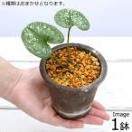 (山野草)品種系カンアオイ 古典園芸 細辛(1鉢)