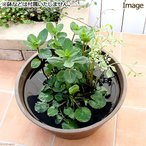 (ビオトープ)水辺植物 インスタント・ビオトープ LOWタイプ(寄せ植え)(1鉢)  (休眠株)