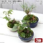 (盆栽)和盆栽 ミニ樹木苗 鉢おまかせ(3鉢)