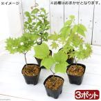 (山野草/盆栽)樹木苗 品種おまかせ 2〜3年生(3ポット)