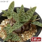観葉植物 レデボウリア ソシアリス ビオラセア 2.5号 1鉢