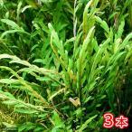 (水草)巻き用 ハイグロフィラsp.ラトナギリ(無農薬)(3本)