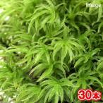 (観葉/苔)ナミガタタチゴケ(無農薬)(30本)