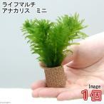 (水草)メダカ・金魚藻 ライフマルチ(茶) アナカリス ミニ(1個) 北海道航空便要保温