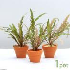 (水草)ハイグロフィラ ピンナティフィダ プチ素焼き鉢(水中葉)(無農薬)(1鉢)