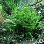 (水草)ミクロソリウムsp.AT33(1株分)