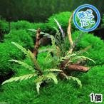 (水草)巻きたて ハイグロフィラ ピンナティフィダ付き 極上流木 Sサイズ(10〜18cm)(無農薬)(1個)