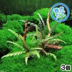 (水草)巻きたて ハイグロフィラ ピンナティフィダ付き 極上流木 Sサイズ(10〜18cm)(無農薬)(3個)