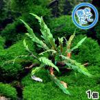 (水草)巻きたて ハイグロフィラsp.ラトナギリ付き 極上流木 Sサイズ(10〜18cm)(無農薬)(1個)