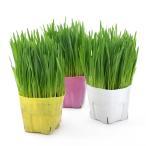 (観葉)ペットグラス 直径12cmカラーポット植え 猫草 ネコちゃんの草 燕麦(無農薬)(1ポット)