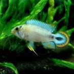 (熱帯魚)アピストグラマ・パンドゥロ(1ペア)