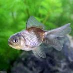 (国産金魚)青文魚(1匹)