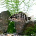 (淡水魚)オヤニラミ Mサイズ(1匹)