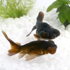 (国産金魚)黒水泡眼(1匹)