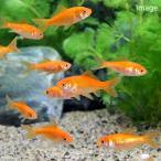 (金魚)生餌 小赤 エサ用金魚 大和郡山産(10匹